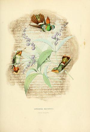 Frilled coquette - Image: Histoirenaturell 31877muls 0247