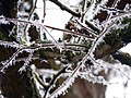 Hoar Frost Resting On Branches (39861754).jpeg
