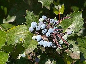 Mahonia - Mahonia japonica fruit
