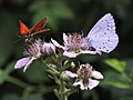 Holly Blue & Small Skipper (25940509144).jpg