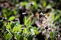 Honey Bee from Bangladesh.jpg