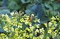 Honey bee pollinating broccoli flower.jpg