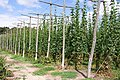 Hop garden at Syndale Farm, Kent - geograph.org.uk - 41933.jpg