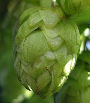 "Female inflorescence called ""hop cones"" of hops (Humulus lupulus)"