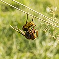 Hornet with prey.jpg