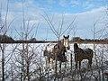 Horses in winter coats - geograph.org.uk - 1658234.jpg