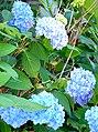 Hortensia bleu blue hydrangea (993664761).jpg