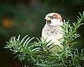 House sparrow (50378472117).jpg