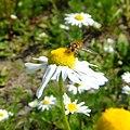 Hover fly on flower, Sandy, Bedfordshire (5925689341).jpg