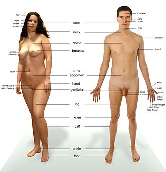 Male - Photograph of an adult male human, with an adult female for comparison. Note that both models have partially shaved body hair.