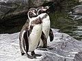 Humboldt Pinguïn (41389526061).jpg