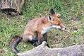 Hunched sat fox (2741830825).jpg