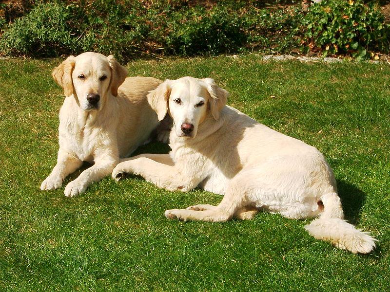 File:Hunde gras.jpg