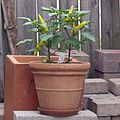 Hungarian wax pepper plant.jpg
