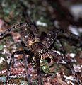 Huntman Spider Heteropoda sp. (7911937764).jpg