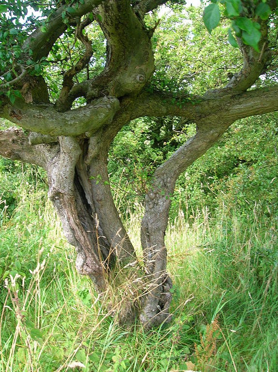 File Husband And Wife Trees Linncraigs Dalry Jpg
