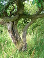 Husband and Wife Trees - Linncraigs, Dalry.JPG