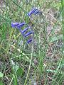 Hyacinthoides non-scripta dune1.jpg