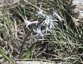 Hyacinthus orientalis L. subsp. orientalis 05.jpg