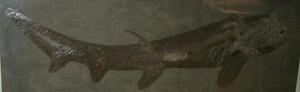 Hybodus hauffianus