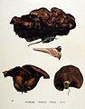 Hydnum fragile — Flora Batava — Volume v19.jpg