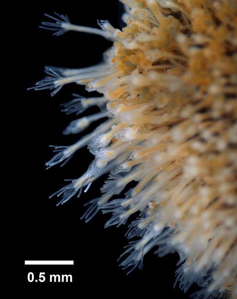 Cratena peregrina (Gmelin, 1791) sur Eudendrium ramosum