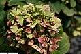 Hydrangea macrophylla Glowing Embers 2zz.jpg