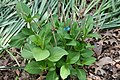 Hydrangea macrophylla Jogaski 1zz.jpg