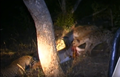 Hyenas Dominate a Leopard With a Kill Latest Wildlife Sightings HD 5.png