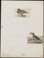 Hymenolaimus malacorhynchos - 1700-1880 - Print - Iconographia Zoologica - Special Collections University of Amsterdam - UBA01 IZ17700091.tif