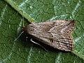Hypenodes humidalis - Marsh oblique-barred - Малая усатка карликовая (42082998630).jpg