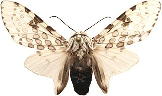 <i>Hypercompe cunigunda</i> Species of moth