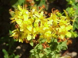 Hypericaceae - Hypericum tetrapterum