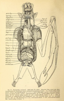 A scientific illustration of the internal anatomy of a megabat. Its organs are individually labeled.
