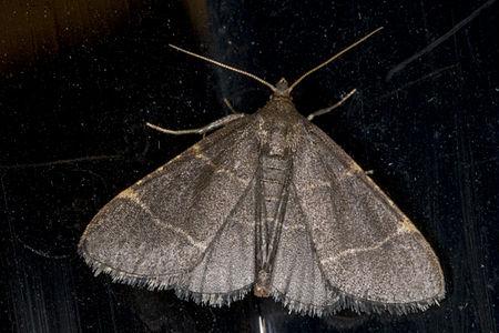 Hypsopygia glaucinalis01, Lodz(Poland)01(js).jpg