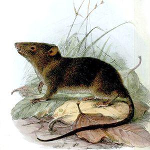 Ecuador Opossum Mouse (Caenolestes fuliginosus)