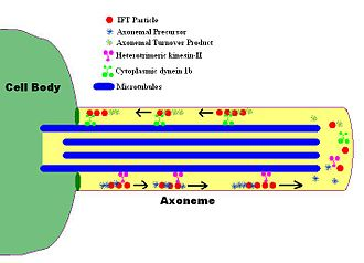 Axoneme - A simplified model of intraflagellar transport.