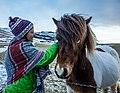 Icelandic Horses (16283294359).jpg