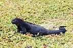 Iguana marina (Amblyrhynchus cristatus), Bahía Tortuga, isla Santa Cruz, islas Galápagos, Ecuador, 2015-07-26, DD 30.JPG