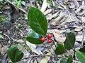 Ilex aquifolium 108288207.jpg