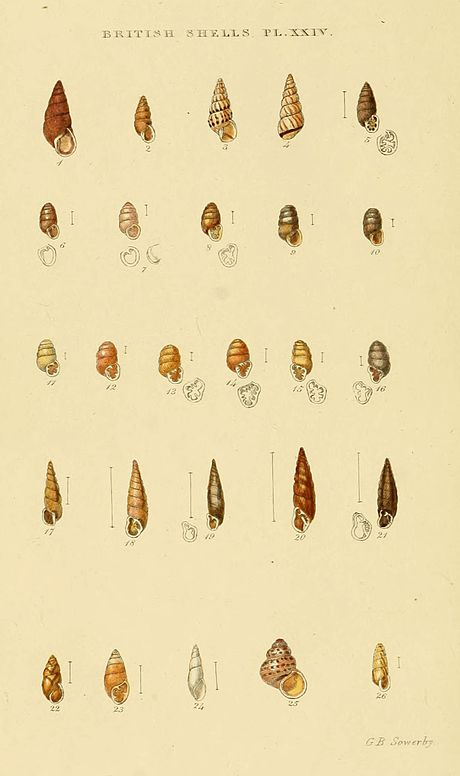 Illustrated Index of British Shells Plate 24.jpg