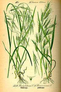 Illustration Bromus tectorum0