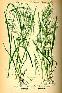 <i>Bromus tectorum</i> species of plant