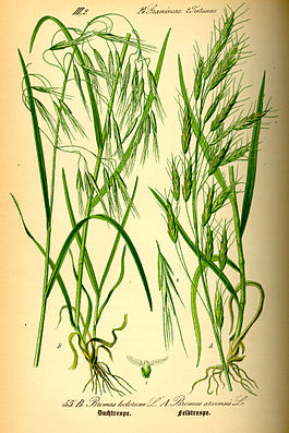 Illustration Bromus tectorum0.jpg