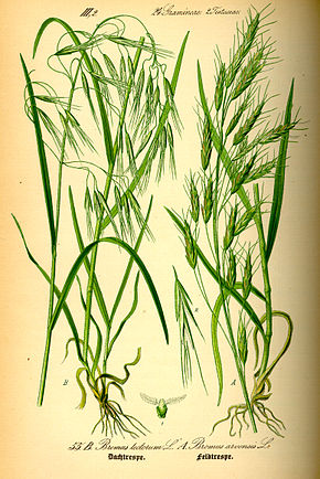Description de l'image illustration Bromus tectorum0.jpg.