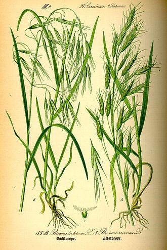 Bromus tectorum - Left: Drooping brome Bromus tectorum  Right: field brome Bromus arvensis