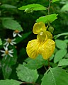 Impatiens capensis yellow form.jpg
