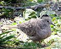 Inca Dove (17840283004).jpg