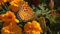 Indian fritillary (Argyreus hyperbius) on marigold (Tagetes).png