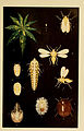 Indian insect life (Plate LXXXI) (6280048354).jpg